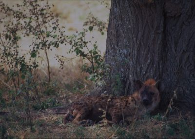 Tired Hyena - Serengeti National Park - Tanzania