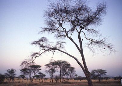Trees - Serengeti National Park - Tanzania
