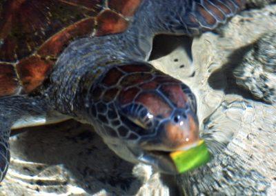 Turtle - Fiji, Samoa