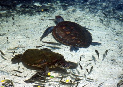 Turtles - Fiji, Samoa