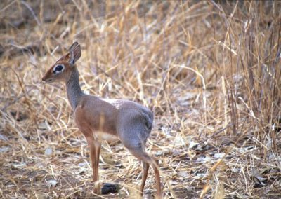 Very Small Antelope - Lake Manyara National Park - Tanzania