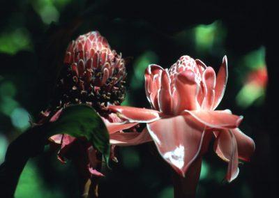 Wax Flower - Fiji, Samoa