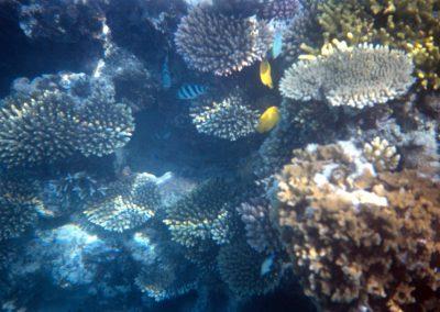 White Coral - Fiji, Samoa