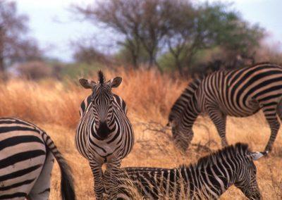 Zebras - Serengeti National Park - Tanzania