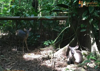 Deers - Jaguar Rescue Center - Puerto Viejo, Costa Rica