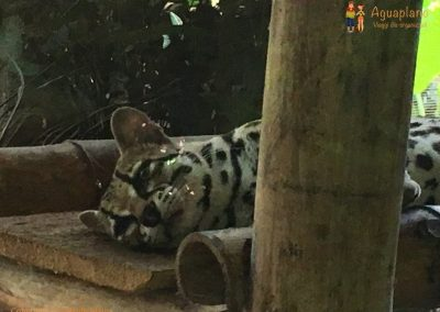 Margay Leopard - Jaguar Rescue Center - Puerto Viejo, Costa Rica