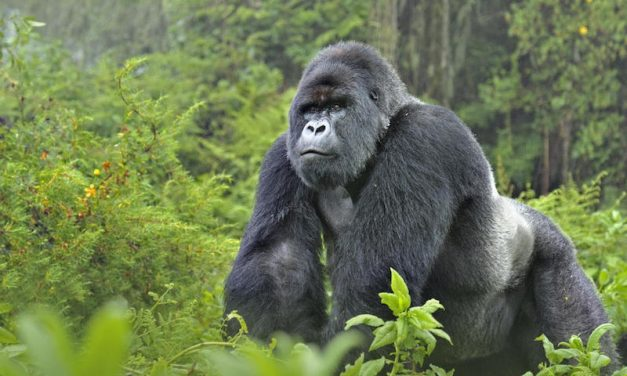 Female ranger killed, two British tourists kidnapped in Virunga NP